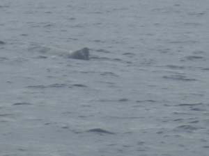 sighting of a sperm whale (female, 12 m in length)